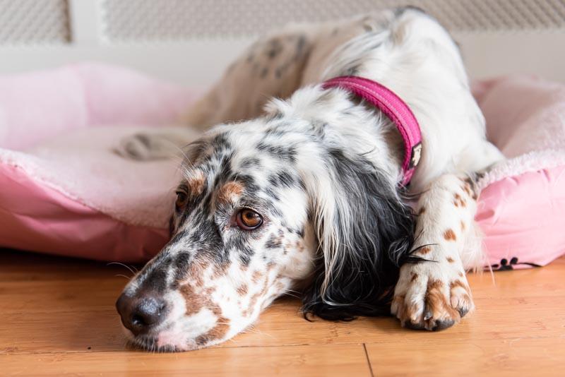 Dog setter