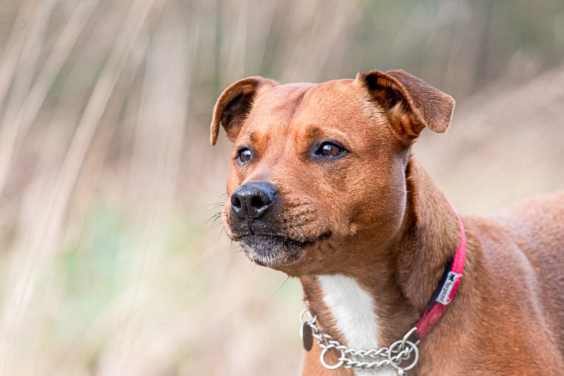 Dog staffie photo